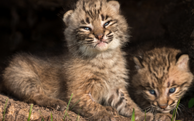 Implementing a Statewide Ban for the Hunting and Trapping of Bobcats