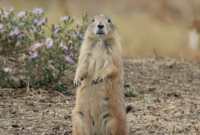 "​Challenging State Language Labeling Prairie Dogs as ""Destructive Rodent Pest"" and as a ""Nuisance"" Species"